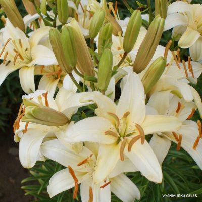 Lily-Nuotaka (2)