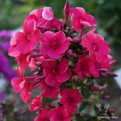 Phlox 'Adessa Red'