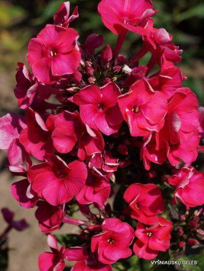 Phlox 'Adessa Red' (5)