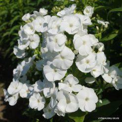 Phlox 'Adessa White'