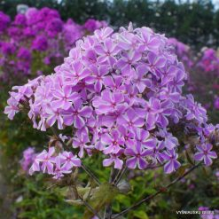 Phlox 'All in One'