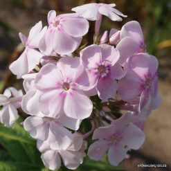 Phlox 'Angelica' (9)