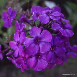 Phlox 'Anyuta' (8)