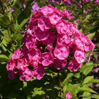 Phlox 'Betty-Marguerite'