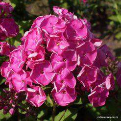 Phlox 'Betty-Marguerite'