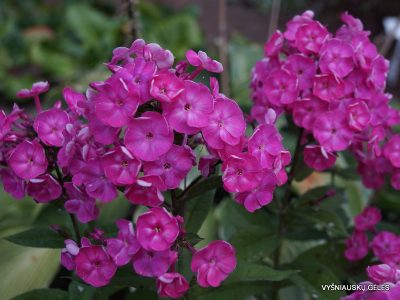Phlox 'Betty-Marguerite' (3)