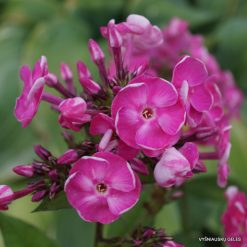 Phlox 'Betty-Marguerite' (7)
