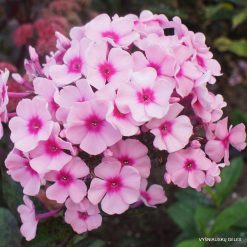 Phlox 'Betty Vulcano'