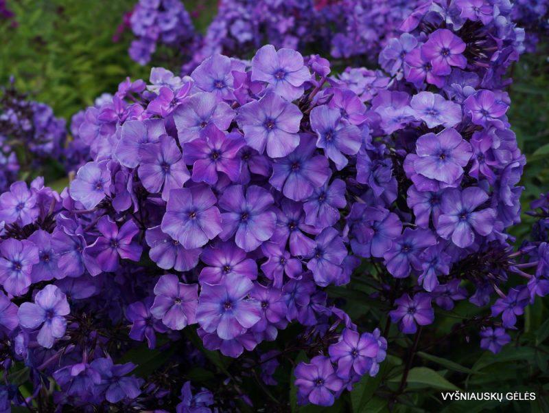 Phlox 'Blauer Morgen' (2)
