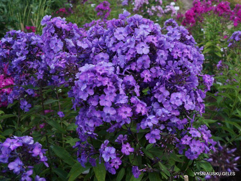 Phlox 'Blauer Morgen' (3)