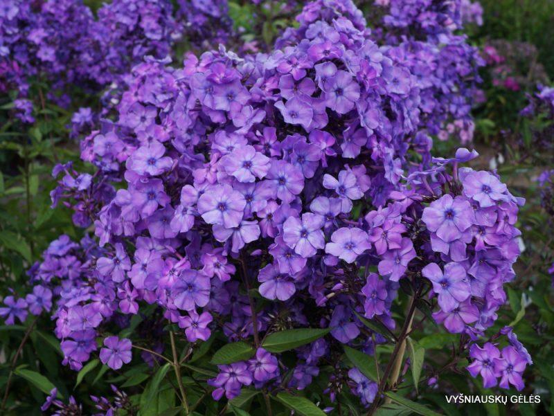 Phlox 'Blauer Morgen' (4)