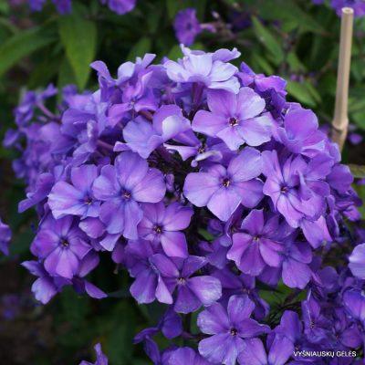 Phlox 'Blauer Morgen' (5)