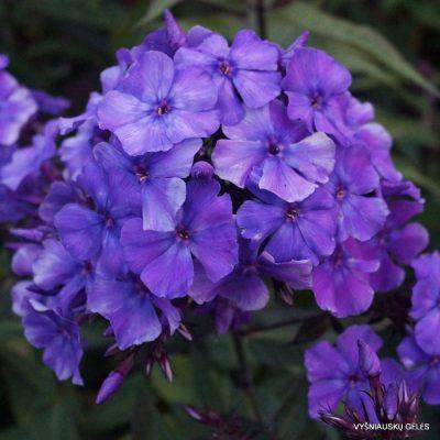 Phlox 'Blauer Morgen' (6)