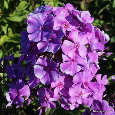 Phlox 'Blauer Morgen' (8)