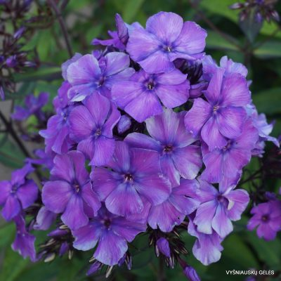 Phlox 'Blauer Morgen' (9)