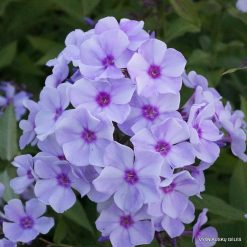 Phlox 'Blue Bird'