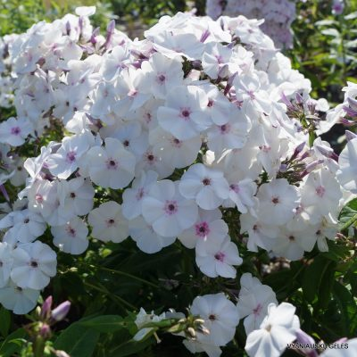 Phlox 'Blue Ice' (2)