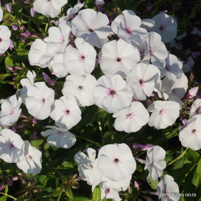 Phlox 'Blue Ice' (3)