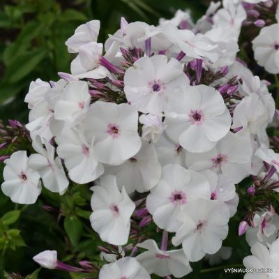 Phlox 'Blue Ice' (4)