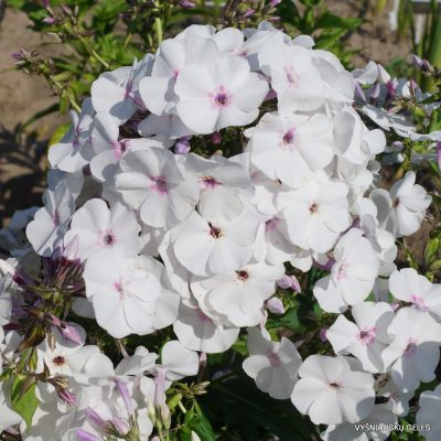Phlox 'Blue Ice'