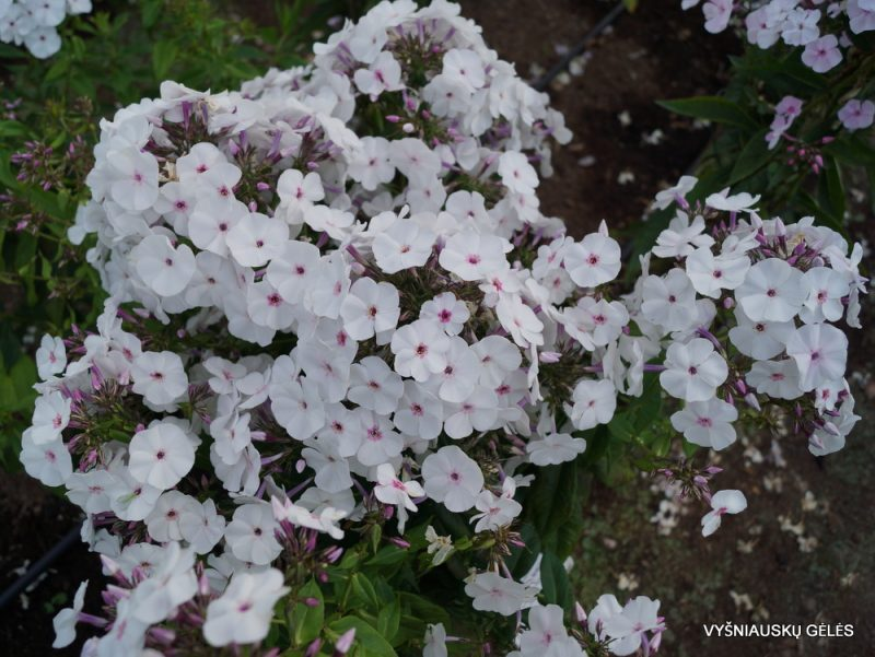 Phlox 'Blue Ice' (5)