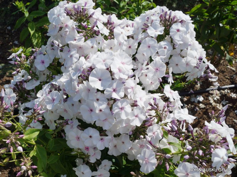 Phlox 'Blue Ice' (6)
