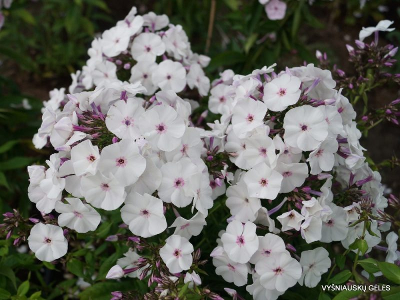 Phlox 'Blue Ice' (7)