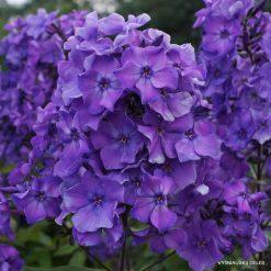 Phlox 'Blue Paradise'