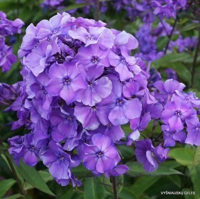 Phlox 'Blue Paradise' (2)