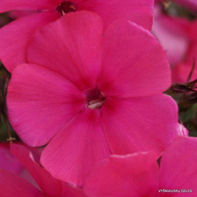 Phlox 'Cherry Pink' (2)