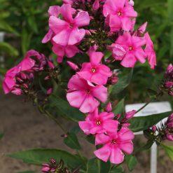 Phlox 'Cherry Pink' (3)