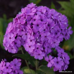 Phlox 'Cool Best'