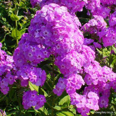Phlox 'David's Lavender'