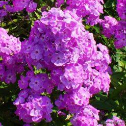 Phlox 'David's Lavender' (2)