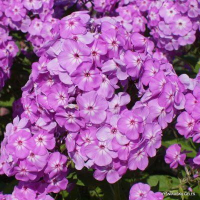 Phlox 'David's Lavender' (3)