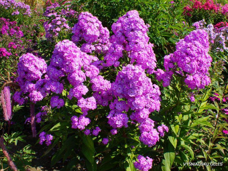 Phlox 'David's Lavender' (4)