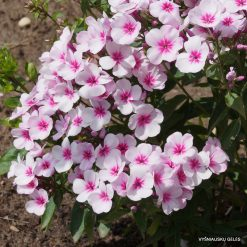 Phlox 'Early Light Pink'