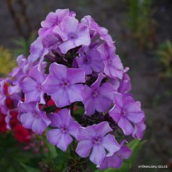 Phlox 'Fliederball'