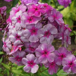 Phlox 'Florans'