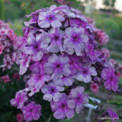 Phlox 'Florans' (2)