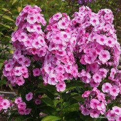 Phlox 'Fondant Fancy'