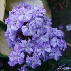 Phlox 'Freckle Blue Shades'