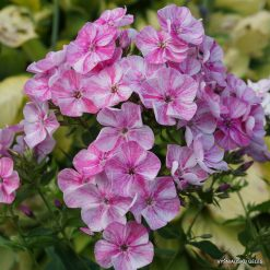 Phlox 'Freckle Pink Shades'