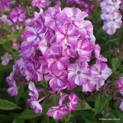 Phlox 'Freckle Purple Shades'