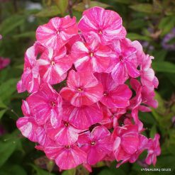 Phlox 'Freckle Red Shades'