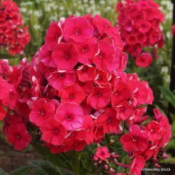 Phlox 'Grenadine Dream'
