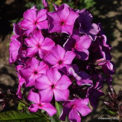 Phlox 'Hampton Court'