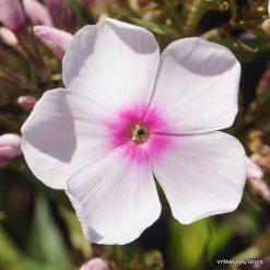 Phlox 'Herbstlicht' (3)