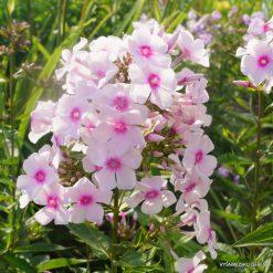 Phlox 'Herbstlicht' (4)