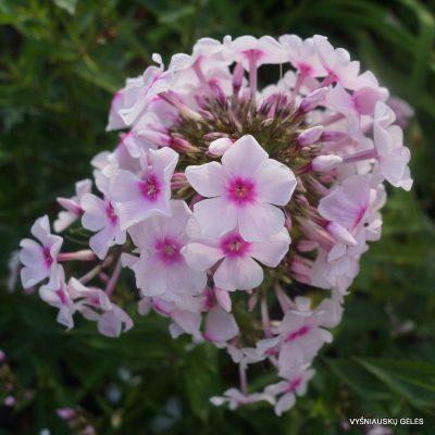 Phlox 'Herbstlicht'